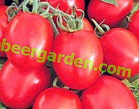 Ein Geschenk niederländischer Züchter - Tomatensorte Benito F1 und deren Beschreibung