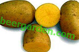 La première étoile des champs de pommes de terre - Pommes de terre Vega: description et caractéristiques