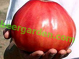 """Géant doux - tomate """"Pink Honey"""": une description de la variété et ses caractéristiques, photos et caractéristiques de la culture"""
