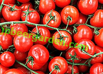 """Description des variétés sans prétention pour les régions du nord - tomate """"Winter Cherry"""" F1"""