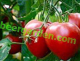 Erfahrene Gärtner empfehlen - Pink Spam Tomate: Sortenbeschreibung und Foto