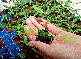 Il est important de savoir combien de temps le poivre pousse pour les semis: délais, causes de mauvaise croissance ou de mort des semis