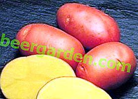 Стійкий і високоврожайний картопля «Кардинал»: опис сорту, фото, характеристика