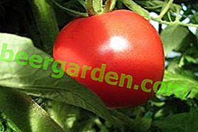 """Tomate déterminante """"Bogata Hata"""": description de la variété, du rendement, des caractéristiques de la culture et de la lutte antiparasitaire"""