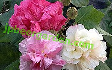 """Crazy rose"", ou Variable d'Hibiscus (Hibiscus Mutabilis): description, photo, faire pousser une maison"