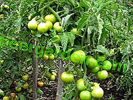 """Für den Anbau im Norden eignet sich die Tomate """"Super Prize F1"""": Beschreibung und Ertrag der Sorte"""