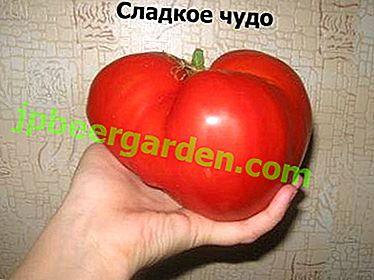 Delicious Sweet Miracle Tomato: Sortenbeschreibung und Kultivierungsgeheimnisse