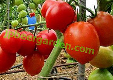 """Ein wahrer ertragreicher Südstaatler - Tomatensorte """"O-la-la"""": Fotos, Beschreibung und Anbaumerkmale"""