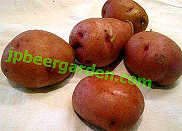 Wie man Irbitsky-Kartoffeln anbaut - eine großfruchtige und ertragreiche Sorte: Foto und Beschreibung
