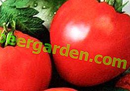 """Pomodoro """"Tsar Bell"""" originale e ad alto rendimento - descrizione della varietà, foto"""