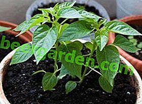 Schritt-für-Schritt-Anleitung für den Anbau von Pfeffersämlingen zu Hause: Richtiges Pflanzen der Samen, Pflege junger Setzlinge, Härten und Züchten guter Sämlinge