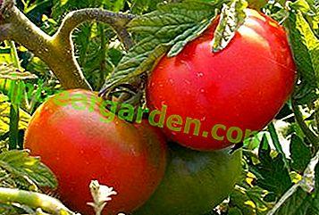 """Отглеждаме домат """"Рано-83"""": описание на сорта и снимка на плода"""