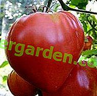 """Il nome insolito della varietà di pomodoro è """"Corbezzolo"""", una descrizione dell'ibrido della selezione siberiana"""