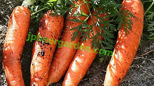 morcovii brute pentru pierderea în greutate