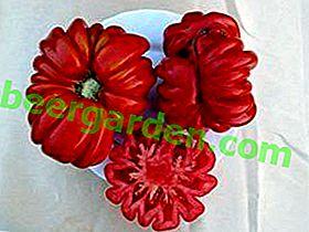 """Original Tomate """"Lorraine Beauty"""": Sortenbeschreibung, Foto"""