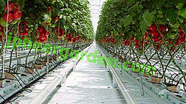 Coltivare buoni pomodori in serra - schemi di piantagione popolari, raccomandazioni per diverse varietà