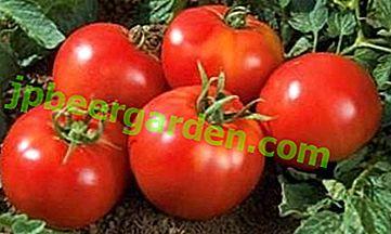 """Tomate sans prétention """"Yamal"""" poussera sans vos efforts: caractéristiques et description de la variété"""