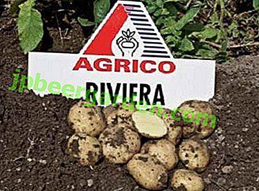 Kartoffel Riviera: ausgezeichneter Geschmack und Langzeitlagerung