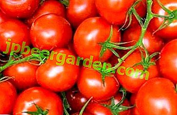 """Variété originale de grandes cultures - tomates """"Pommes dans la neige"""": description, caractéristiques, photos"""