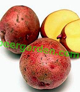 Pomme de terre Kamensky: les coléoptères du Colorado sont trop coriaces!