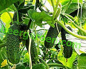 Kompatybilność z innymi warzywami: co można sadzić w szklarni z ogórkami?  Dlaczego nie popełnić błędu?