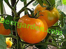 Hibrid gustos și frumos - soi de tomate Persimmon - descriere, cultivare, recomandări generale