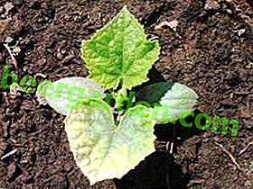 З'ясовуємо причини чому у розсади огірків сохнуть краю листя, жовтіють і скручуються листя?  Що робити в такому випадку