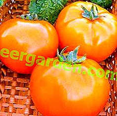 """Pomodoro esotico - descrizione varietà di pomodoro """"Arancia"""", caratteristiche, resa, foto"""