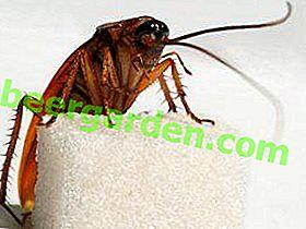 Ernährung von Kakerlaken: Was sie essen, was ihre Mundstücke sind und welche Gefahren sie für eine Person mit sich bringen