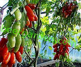 """Erstaunliche Tomate von ungewöhnlicher Form - """"Auria"""": Sortenbeschreibung und Foto"""
