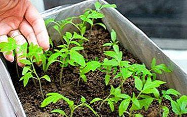 На замітку дачникові: як правильно сіяти помідори на розсаду в ящики