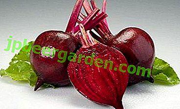 Die chemische Zusammensetzung von Rüben, der Kaloriengehalt und die gesundheitlichen Vorteile.  Was sind die Kontraindikationen für ein rotes Gemüse?
