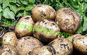De Moscou à la périphérie - où et comment les pommes de terre sont-elles cultivées en Russie?