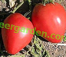 Кращий експеримент російських селекціонерів - томат «Волове Серце»: характеристика і опис сорту, фото
