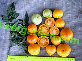 """Сладки и лековити домати """"Пате"""": описание на сорта, характеристики на плода, препоръки за отглеждане"""