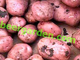 """""""Azhur"""" di patate: una descrizione della varietà, caratteristiche, foto e vantaggi di mezza stagione"""
