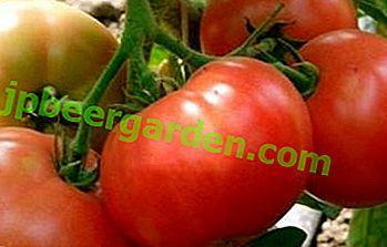 Hitze- und stressresistente Tomate Infinity F1: Sortenbeschreibung und Kultivierungsmerkmale