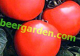 """Description et caractéristiques de la variété de tomate hybride ultra-précoce de la sélection néerlandaise """"Debut"""""""
