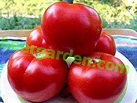 Unikalna hybrydowa odmiana pomidorów - Spasskaya Tower F1