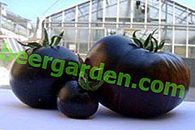 """Jasny przedstawiciel ciemno owocowego - pomidora """"Chernomor"""" opisu odmiany i jej cech"""