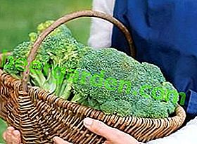 Come conservare il cavolo broccoli per l'inverno a casa: nel frigorifero o nel congelatore?