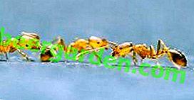 Домашній фараонів мураха: який його шкода і як з ним боротися?