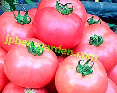 Anerkannte Tiergärtner - Tomatensorte Pink Cheeks