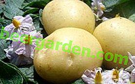 """Variété de pomme de terre mûre précoce """"Natasha"""" - caractéristiques et description, photo"""