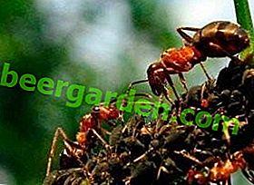 Que mangent les fourmis dans la nature?