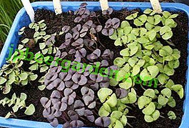 Все про те, як садити насіння базиліка на розсаду