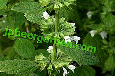 Melissa: opis ze zdjęciami najpopularniejszych gatunków i pielęgnacji roślin