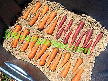 Як зберегти моркву?  Зберігання в піску: сухий або вологий?