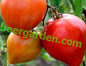 """Wie züchte ich eine Tomate """"Buffalo Heart""""?  Beschreibung, Eigenschaften und Fotos von Sorten der Zwischensaison"""