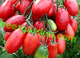 """Tomates étonnantes """"raisins roses"""": description de la variété, rendement, avantages et inconvénients"""